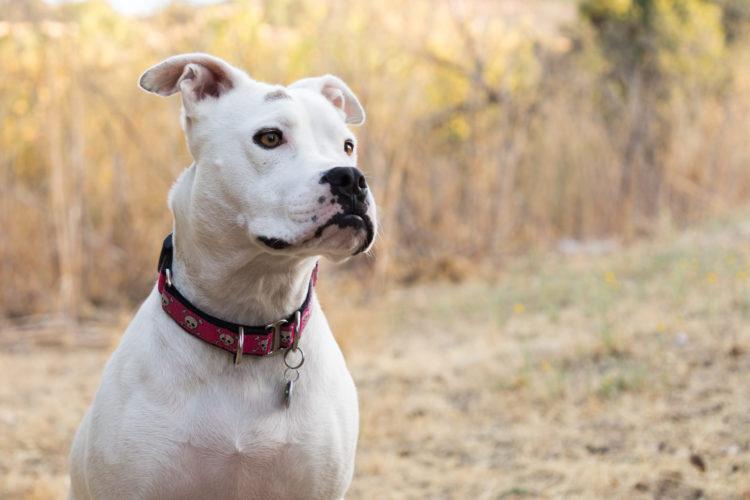 Pit Bull Dog Portrait San Jose California