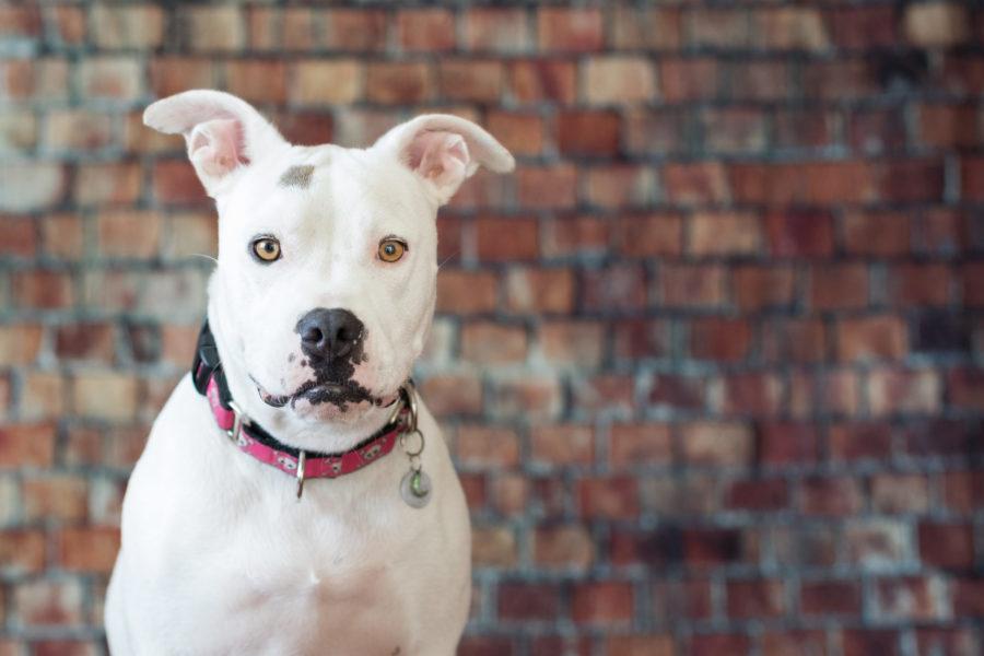 Dog Studio Portrait Photography