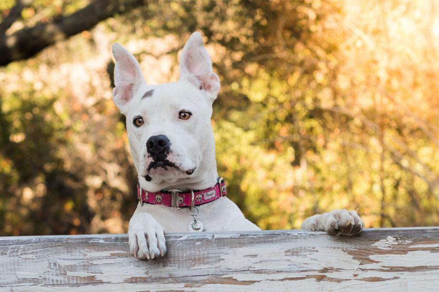 Outdoor Pet Dog Portrait San Jose California